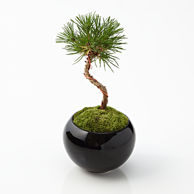 muji-bonsai