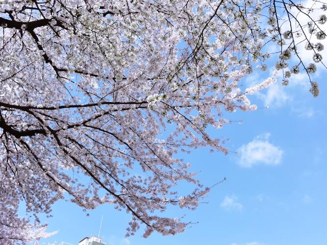 桜と、名建築と、コーヒー